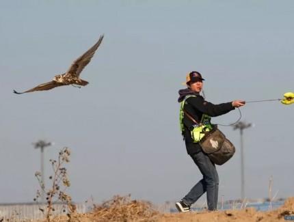 鸟击事件发生数量较往年同期明显上升,首都机场采用鹰隼驱鸟
